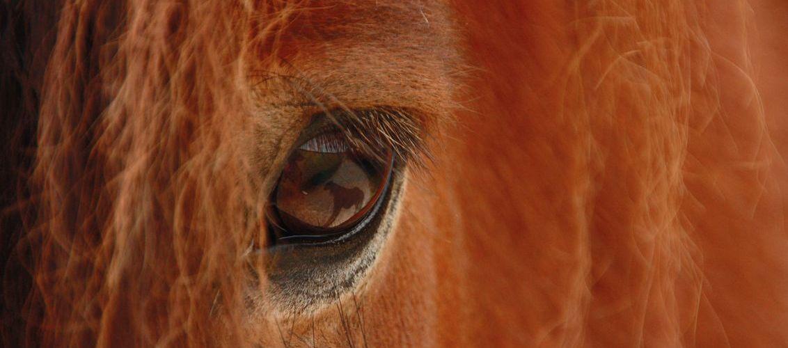 Pferdeauge
